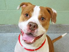 TO BE DESTROYED 04/29/14 Manhattan Center *** NEW PHOTO ***  My name is JAY. My Animal ID # is A0997008. I am a male white and tan pit bull mix. The shelter thinks I am about 3 YEARS old.  I came in the shelter as a STRAY on 04/18/2014 from NY 11205, owner surrender reason stated was OWN ARREST. https://www.facebook.com/photo.php?fbid=794711483875066&set=a.611290788883804.1073741851.152876678058553&type=3&theater