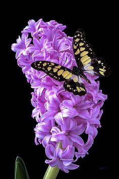 Hyacinth with butterfly Art Print by Garry Gay. All prints are professionally printed, packaged, and shipped within 3 - 4 business days. Choose from multiple sizes and hundreds of frame and mat options. Butterfly Kisses, Butterfly Flowers, Beautiful Butterflies, Beautiful Flowers, Beautiful Gorgeous, Butterfly Wings, Simply Beautiful, Purple Flowers, Butterfly Pictures