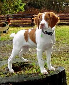 The Brittany (spaniel).  They're so adorable, and although they're similar to other spaniels, they have less feathering (hair), and their ears aren't so long and droopy.  The puppies are irresistible! :)