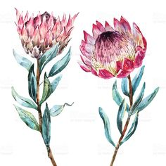 Buy Watercolor Tropical Flower Protea by Zenina on GraphicRiver. Beautiful vector image with nice watercolor tropical flower protea Flor Protea, Protea Art, Protea Flower, Plant Illustration, Watercolor Illustration, Exotic Flowers, Tropical Flowers, Watercolor Flowers, Watercolor Paintings