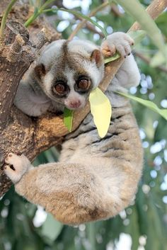 Slow lorises have a #toxic bite, a trait rare among mammals and unique to #lorisid #primates. The toxin is produced by licking a gland on their arm, and the secretion mixes with its saliva to activate it. Their toxic bite is a deterrent to predators, and the toxin is also applied to the fur during grooming as a form of protection for their infants. http://en.wikipedia.org/wiki/Slow_loris