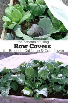 The Benefits of Using Row Covers for Broccoli, Cabbage & Cauliflower include bug deterrent, better growth, and quicker harvest: http://anoregoncottage.com/benefits-of-using-row-covers-for-broccoli-cabbage-cauliflower/