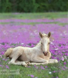 Chincoteague Pony foal lying in paddock with wild Phlox flowers