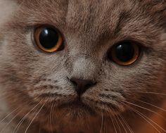British Shorthair, dettaglio. #gatti #cats #britishshorthair