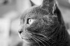 Macro photographygrey cat fine art print for home by PhotoIdea