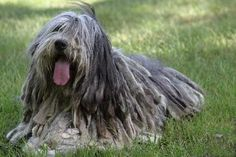 The Bergamasco dog's  head is long more or less, proportionate to the size of the dog. Photo via Bergamasco  Sheepdog Club of America.