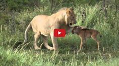 #Lion saving a calf from another lion!!!