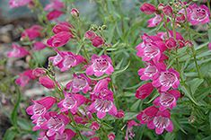 Click to view large photo of Red Rocks Beard Tongue (Penstemon x mexicali 'Red Rocks') at Echter's Nursery & Garden Center