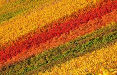 Aerial shot of Chianti vineyards in autumn, Tuscany, Italy
