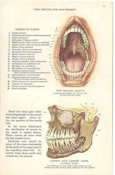 Medical Anatomy Illustration Human Mouth and by TinkersEphemera Human Anatomy Drawing, Human Figure Drawing, Human Anatomy And Physiology, Dental Anatomy, Medical Anatomy, Yoga Motivation, Dentist Cartoon, Dental Posters, Human Mouth