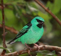O dacnis azul ou honeycreeper azul-esverdeado (Dacnis cayana) são um pequeno pássaro passerine. Este membro da família tanager é encontrado da Nicarágua ao Panamá, no Trinidad, e em América do Sul ao sul à Bolívia e a Argentina do norte.