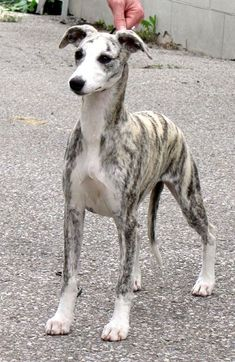 Omg this dog is absolutely beautiful! I just love Greyhounds! Look at his gorgeous coat! Omg this dog is absolutely beautiful! I just love Greyhounds! Whippet Puppies, Dogs And Puppies, Whippets, Doggies, Beautiful Dogs, Animals Beautiful, I Love Dogs, Cute Dogs, Dog Expressions
