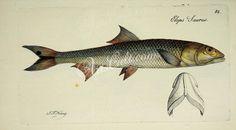 Ladyfish      ...