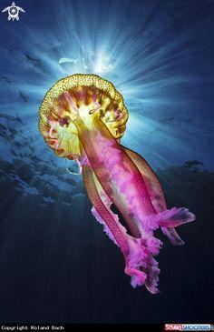 Jellyfish in Menorca - Balearics - Spain