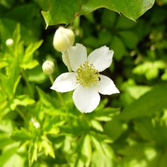 Starved Rock State Park, Illinois - Wood Anemone - White Flower - Illinois wildflowers - Turning Moss