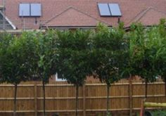 ideas backyard privacy screen fast growing trees for 2019 Backyard Trees, Landscaping Trees, Privacy Landscaping, Backyard Fences, Front Yard Landscaping, Hydrangea Landscaping, Backyard Privacy Screen, Shrubs For Privacy, Garden Privacy