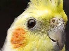 cockatiel head - Google Search