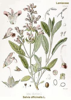 sage plant drawing - Google Search