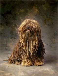 Stock photo # Puli dog Ungroomed head of hair can make you experience soiled Puli Dog Breed, Dog Breeds, Mop Dog, Dog Cat, Dog Photos, Dog Pictures, Hungarian Puli, Dog Stock Photo, Cute Dogs And Puppies