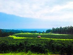 From farm to #coffee cup. Rusty's Hawaiian coffee farm in Kau, Hawaii, the #BigIsland. #gohawaii #MyHometownPins