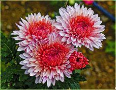 Садовые Растения, Свадебный Дизайн, Красивые Цветы, Рисунки, Природа, Садоводство, Осень, Георгины