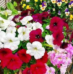 Csodás virágözönnel ajándékoz meg ez a hálás növény, ha hallgatsz ránk. Petunias, Nature, Instagram, Gardening, Decor, Plant, Decoration, Decorating, Garten