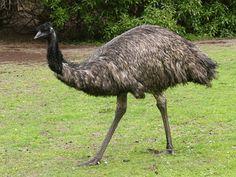 The Emu - a relative of the Ostrich