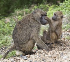 """Grooming"" by Steve Grodin: A baby baboon grooming its mother in Tanzania."