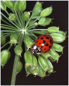 The 7-spotted lady beetle is believed to be the first named for the Virgin Mary; the red color represents her cloak, and the black spots represent her sorrows.