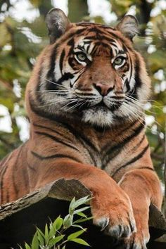 The Sumatran tiger is considered a rare tiger subspecies that inhabited the Indonesian island of Sumatra. Nature Animals, Animals And Pets, Cute Animals, Wild Animals, Beautiful Cats, Animals Beautiful, Big Cats, Cats And Kittens, Chat Lion