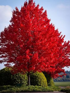 October Glory Maple | The Tree Center