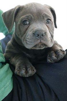 meet Marley - a blue English Staffordshire bull terrier
