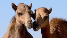 Scientists successfully inoculated four dromedary camels against the MERS coronavirus, but their work is far from done. Bactrian Camel, Animals Of The World, Pet Health, Conservation, Mammals, Habitats, Wildlife, Scientists, Canning