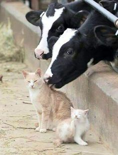 #Cats #Cat #Kittens #Kitten #Kitty #Pets #Pet #Meow #Moe #CuteCats #CuteCat #CuteKittens #CuteKitten #MeowMoe The cows and kittens made friends ... http://www.meowmoe.com/94330/