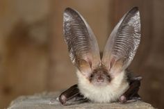 cute long eared bat, Plecotus