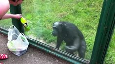 This smart chimp knows what he wants and isn't afraid to ask for it.Simon Moore was visiting the Welsh Mountain Zoo with his family and brought few snacks for their day out. While checking out the m
