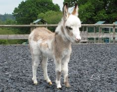 blond and white miniature donkey - Bing Images