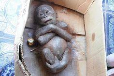 """""""O GRITO DO BICHO"""": Filhote de orangotango encontrado 'mumificado' tem..."""