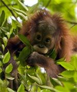 The Orangutan Conservancy (OC) is emphasizing its commitment to wild orangutan conservation by offering for virtual adoption six orangutans currently living in the Kutai National Park in East Kalimantan, Indonesia.