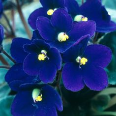 100Pcs Blue Evening Primrose Seeds Rare Garden Fragrant Flower Bonsai Seeds - Newchic Mobile.
