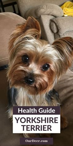 Yorkshire Terrier Breeders, Teacup Yorkshire Terrier, Yorkshire Dog, Teacup Yorkie, Yorkie Puppy, Puppy Food, Small Dog Breeds, Pet Grooming, Little Dogs