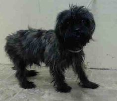 NAME: OREO AGE: ABOUT 4 YEARS OLD BREED: CARIN TERRIER MIX WEIGHT: 10.2 LBS.available  for adoption  - Rebound Hounds Res-Q