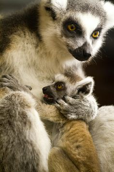 Baby ring tail lemur with mother | Flickr - Berbagi Foto!