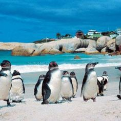 Best of South Africa Tour: holiday package that covers sightseeing, wildlife, ride on cable car and aboard luxury cruise, shopping and more. South Africa Tours, Cape Town South Africa, African Penguin, African Safari, Cape Town Hotels, Boulder Beach, Rock Climbing Gear, Most Beautiful Cities, Day Tours