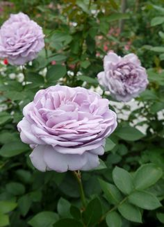 light purple rose  Steinfurt-Hessen-Germany Paradise Garden, Purple Roses, Light Purple, Germany, Shabby, Bloom, Flowers, Plants, Inspiration
