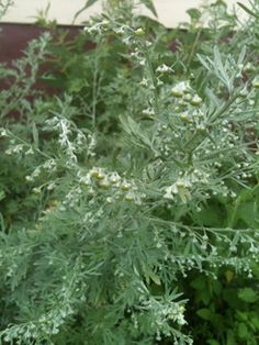 Wormwood ~ The tincture of the fresh plant (in flower or not) dispels parasites when taken in large doses and prevents travelers gut when taken 6-10 times a day in single drop doses. I will swear that it removed a Giardia infection that was just beginning by my taking five drops every 15-20 minutes for six hours, or until the sulphurous burps stopped.