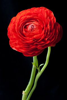 Ranunculus. I love these flowers.   They look like roses with tons and tons of petals to me.