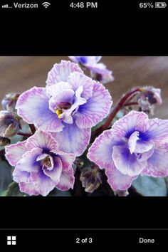 African Violet Pearl Lace