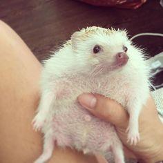 #個性小子 #biddythehedgehog #必仔