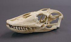 Komodo Dragon skull.